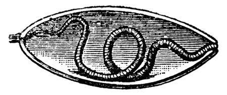 This illustration represents Earthworm Escaping Cocoon, vintage line drawing or engraving illustration.