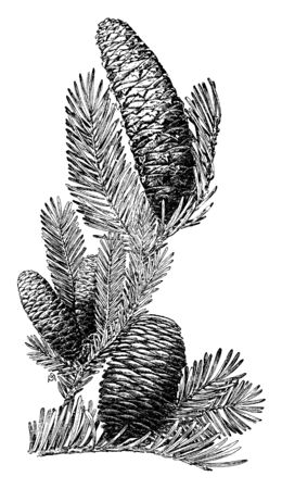 This is a picture of fig tree cone with leaves & branches, vintage line drawing or engraving illustration.