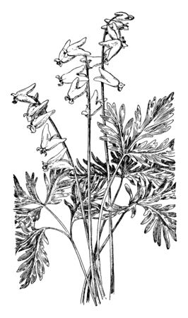 Dutchman's breeches are a perennial herbaceous plant, native to rich woods of eastern North America, with a disjunctive population in the Columbia Basin, vintage line drawing or engraving illustration. Imagens - 132828258