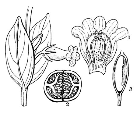 The picture shows the different part of the Hypocyrta. First part shows section of a flower, second part shows cross section of a fruit and third part shows seed with it embryo exposed to view, vintag 일러스트