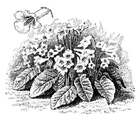 A picture shows Plant features of Streptocarpus Kewensis flowers, vintage line drawing or engraving illustration.