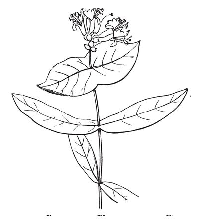 A picture is showing Flower. This is the Flower of the Honeysuckle. This is the arching shrubs or twining bines. It belongs to Caprifoliaceae family. These flowers are borne in clusters of two, vintage line drawing or engraving illustration. Vettoriali