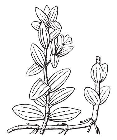It is picture of Scented crushed plants which gives their fragrance, vintage line drawing or engraving illustration. Ilustração