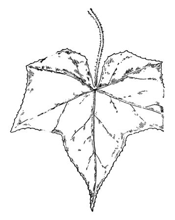 Leaves of Bur-Cucumber, The leaves are palmately veined and lobed, vintage line drawing or engraving illustration.
