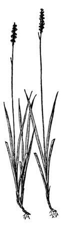 The Northern Single spike Sedge is a flower bud usually consists of a single erect spike up to 1 inch long at the top of the stem. It is of two type's male and female versions, vintage line drawing or engraving illustration.