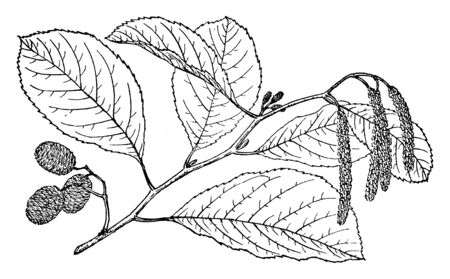 The branch of a Seaside Alder, native to the United States, vintage line drawing or engraving illustration. Archivio Fotografico - 132827854