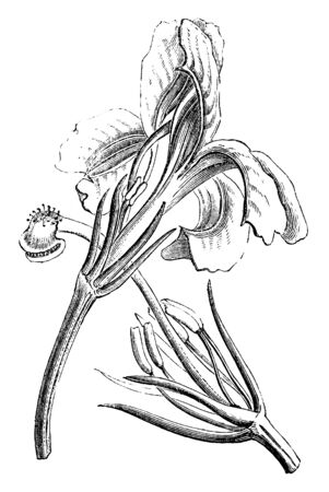This is image of Lechenaultia flower. Picture showing calyx, stamens, and style, with stigma and indusium, vintage line drawing or engraving illustration.