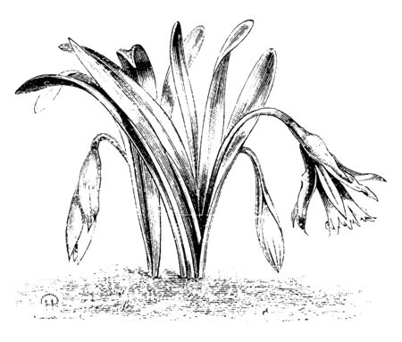 A type of variety of Naricissus Pseudo called Narcissus Minor Minimus, vintage line drawing or engraving illustration. Ilustrace