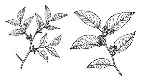 In this picture there is a branch of a water elm tree. They are also called as Planera aquatica. In it there is a banyan tree, and it has small leaves. On the limb have flowering buds, vintage line drawing or engraving illustration. Banque d'images - 132827614