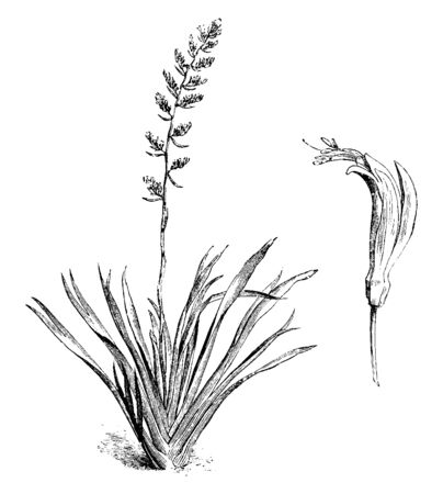 A picture is showing a branch and flower of Common New Zealand Flax also called as Phormium Tenax. The flowers are yellow or red and two inches long, vintage line drawing or engraving illustration. Ilustracja
