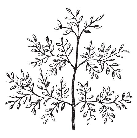 The picture are showing dense leaves, Many leafs attach on stem at the same level around the stem, vintage line drawing or engraving illustration.