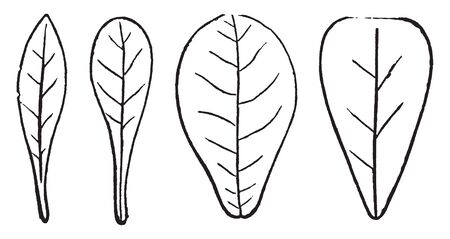 This is feathered-veined leaves. In this picture first leaf is oblanceolate, second is spatulate, third is obovate and fourth is wedge-shape, vintage line drawing or engraving illustration.