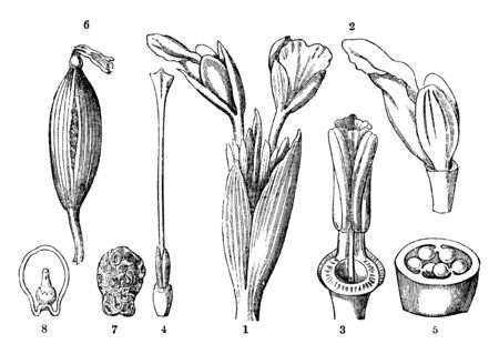 Chinese ginger is also called the Galangal, its divided in parts as shown in picture as Flowers of Kaempferia pandurata, inner row of corolla, style and stigma, transverse section of the ovary etc., vintage line drawing or engraving illustration.