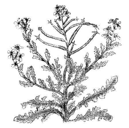 The flowers of mathiola tricuspidata normally bloom in the summer. Each branch has four to five flowers, vintage line drawing or engraving illustration. Illustration