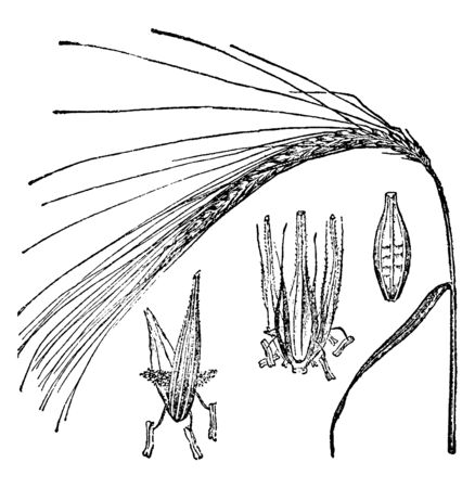 Barley, the name of several cereal plants of the genus Hordeum which are prepared beer, porter, and whisky, vintage line drawing or engraving illustration.