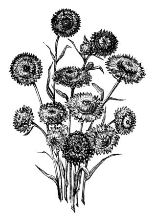 A picture is showing Bunch of Helichrysums Everlasting Flowers. It belongs to sunflower family, Asteraceae. Helichrysums are a type of everlasting flower, vintage line drawing or engraving illustration. Çizim