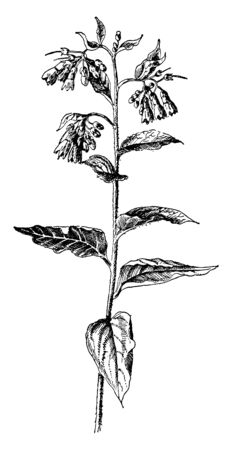 Symphytum Asperum is known as prickly comfrey. It is a Perennial herb and the leaves are simple, vintage line drawing or engraving illustration.