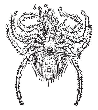 Acarida which includes those insects as the mites ticks itch insects without a definite line of demarktation, vintage line drawing or engraving illustration.