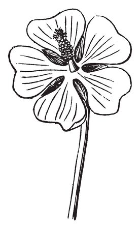 A picture is showing Flower. This is the flower of the Marsh-Mallow. Its native to Europe and western Asia, vintage line drawing or engraving illustration.