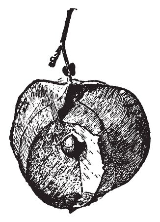 This fruit are membranous fruits, this fruit is in inflated, and balloon-shaped therefore it looks like a small heart, vintage line drawing or engraving illustration.