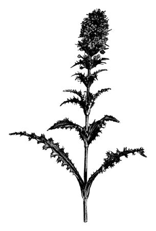 It is a Morina Longifolia, a beautiful evergreen perennial herb. This picture is showing its stem containing flowers, vintage line drawing or engraving illustration.