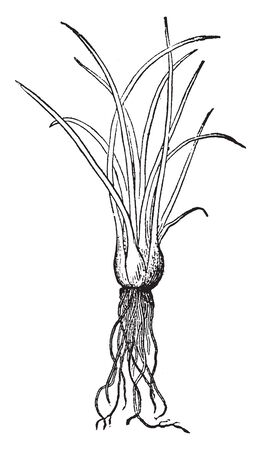 Plant of a large widely distributed genus of fern allies comprising the aquatic or marsh-growing quillworts that have a short buried lobed stem, vintage line drawing or engraving illustration.