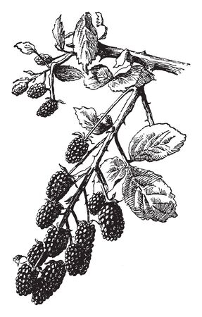 This is a fruity branch Wild Blackberry. Fruit is pulpy, fleshy, juicy fruit. It is rounded, brightly coloured and sweet or sour in taste, vintage line drawing or engraving illustration.
