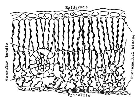 This picture showing a leaf tissue. This diagram shows fundamental tissues and Vascular, vintage line drawing or engraving illustration.