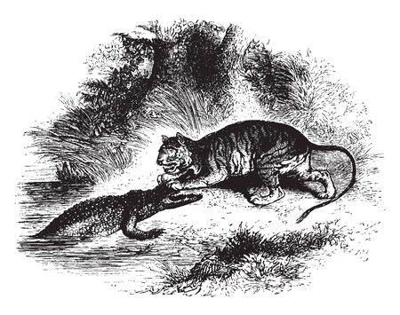 Crocodile and tiger engaged in a fight, vintage line drawing or engraving illustration. Ilustrace