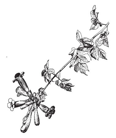 Campsis radicans, is a types of blossoming plant of the family Bignoniaceae, local toward the eastern United States, vintage line drawing or engraving illustration.