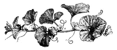 This picture is the male and female flowers on the lateral growth of watermelon plant. Male flowers are more in comparison to female flowers, vintage line drawing or engraving illustration.