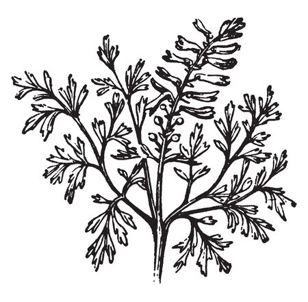 A picture is showing Common Fumitory, commonly known as Fumaria officinalis. It is an herbaceous annual flowering plant and its belongs to poppy family Papaveraceae, vintage line drawing or engraving illustration. Imagens - 133250402