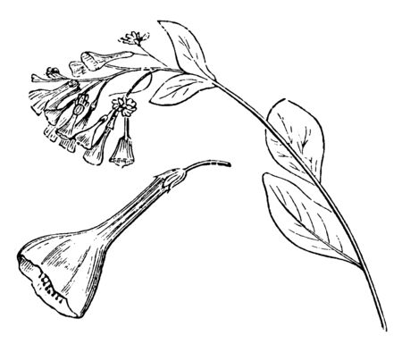 This picture shows flowers are arranged on branches, different from the vegetative branches. An inflorescence is the reproductive portion of a plant. The flowers are purple blue and tubular, vintage line drawing or engraving illustration.