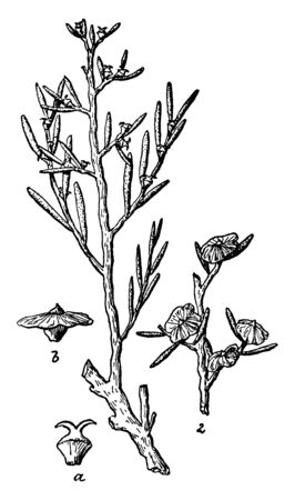 Greasewood is a North American genus of two species of flowering plants. This plant also known as Sarcobatus, vintage line drawing or engraving illustration.