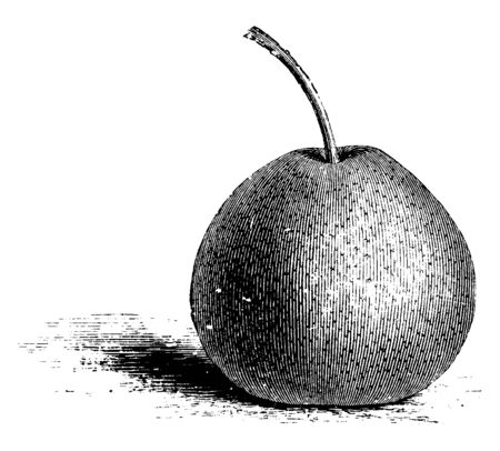 It is a Passe Crassane pear, the red- waxed winter pear of the France, vintage line drawing or engraving illustration. Çizim