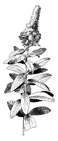 An image showing Spiraea Douglasii. This is a species of flowering plant belonging to the Rosaceae family. It is native to western North America. It has large clusters of small pink flowers, vintage line drawing or engraving illustration.