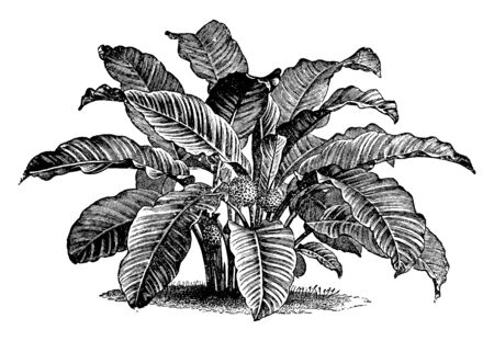 This is picture of Calathea Zebrina. It is an evergreen plant. It has velvety light green leaves, vintage line drawing or engraving illustration. 일러스트