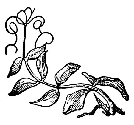 This is a pinnate leaf. This leaf is a compound leaf that attaches to the stem and is divided into smaller leaflets and this is a feather-like leaf, vintage line drawing or engraving illustration. Çizim