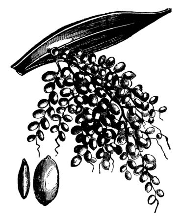 This is image of the date tree. This image showing a date fruit, it has small. It is bunch of data fruit; they grow up on a single branch. This fruit is sweet. It is oval shape, vintage line drawing o