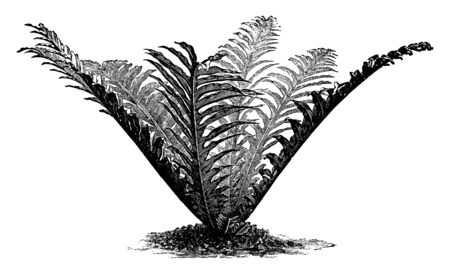 Picture is of Polypodium Heracleum plant. It belongs to the family Polypodiaceae. The rhizome is creeping. The fern can form root associations with the hyphae of fungi, vintage line drawing or engraving illustration.