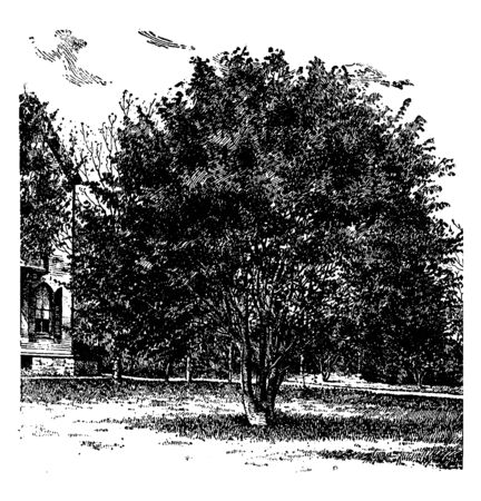 A picture of Fagus Sylvatica beech also known as common beech is a deciduous shade tree from Europe. This large European beech features toothed leaves, vintage line drawing or engraving illustration.