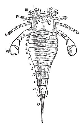 Eurypterus Fischeri is presented showing the prosomatic shield with paired compound eyes and the prosomatic appendages, vintage line drawing or engraving illustration. Çizim