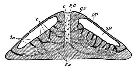 Spongilla showing the arrangement of the canal system, vintage line drawing or engraving illustration.