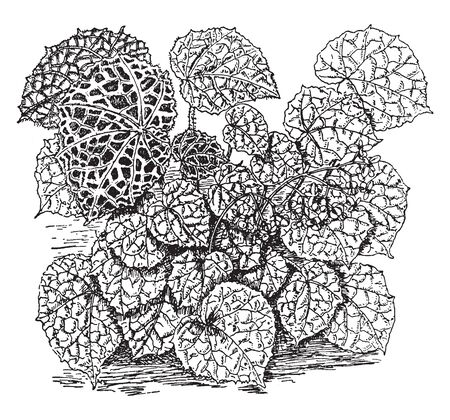 The upper and lower sides of the leaves are rugged, and there are specific green veins. The Begonia Rajah plant not a tall, vintage line drawing or engraving illustration.