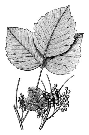 Ivy leaves produces urushiol and these leaves are like poison if anybody touches them, it is itchy, vintage line drawing or engraving illustration.