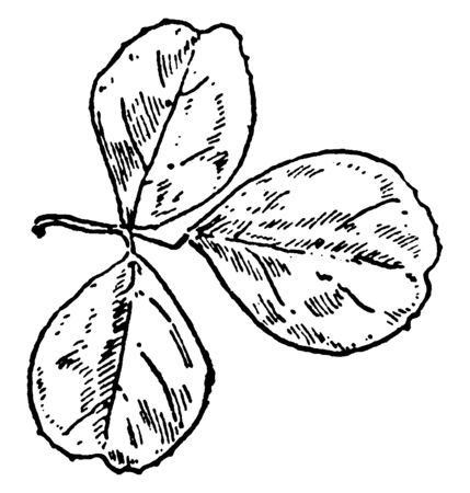 Medicago Lupulina is commonly known as black Medick and nonesuch. The leaves are compound, each with three oval leaflets, vintage line drawing or engraving illustration. Çizim