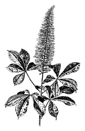Aesculus Parviflorais known as bottlebrush buckeye. The shrub is deciduous and spreading by root sprouts, vintage line drawing or engraving illustration.