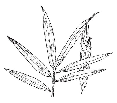 Arundinaria is known as canes. It is genus of bamboo in the grass family, vintage line drawing or engraving illustration. Ilustrace