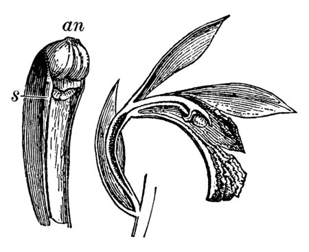 The Gynandria of Bletias inflorescence is the rising from the branches, vintage line drawing or engraving illustration.