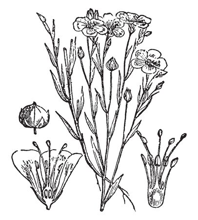 A picture is showing Flax Flower and Seed-Pod. It is an annual plant. This Illustration is: a. Flax plant, b. a fruit, c. vertical section of flower, d. a pistil, vintage line drawing or engraving illustration.